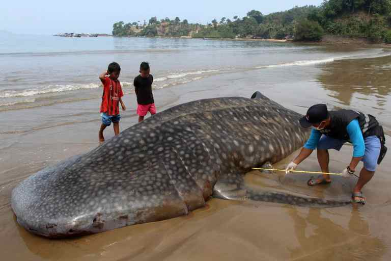 beached whale shark