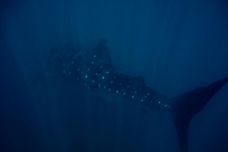 Whale_shark_(Rhincodon_typus)_(15600945944)
