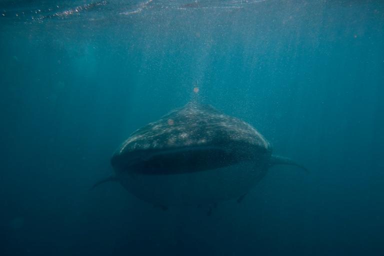 Whale_shark_(Rhincodon_typus)_(16035919558)